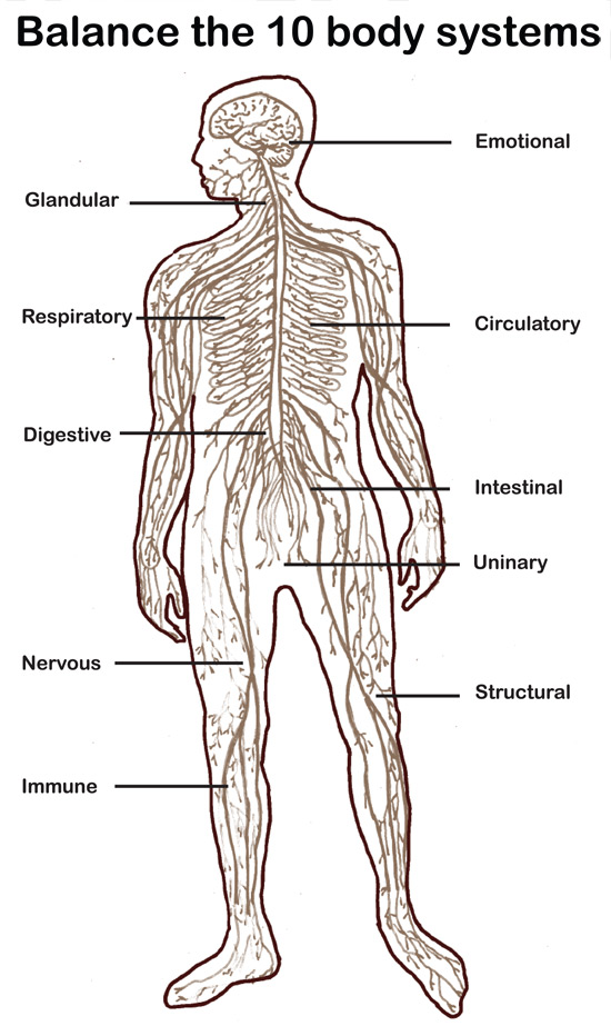 the ten body systems, Muscles
